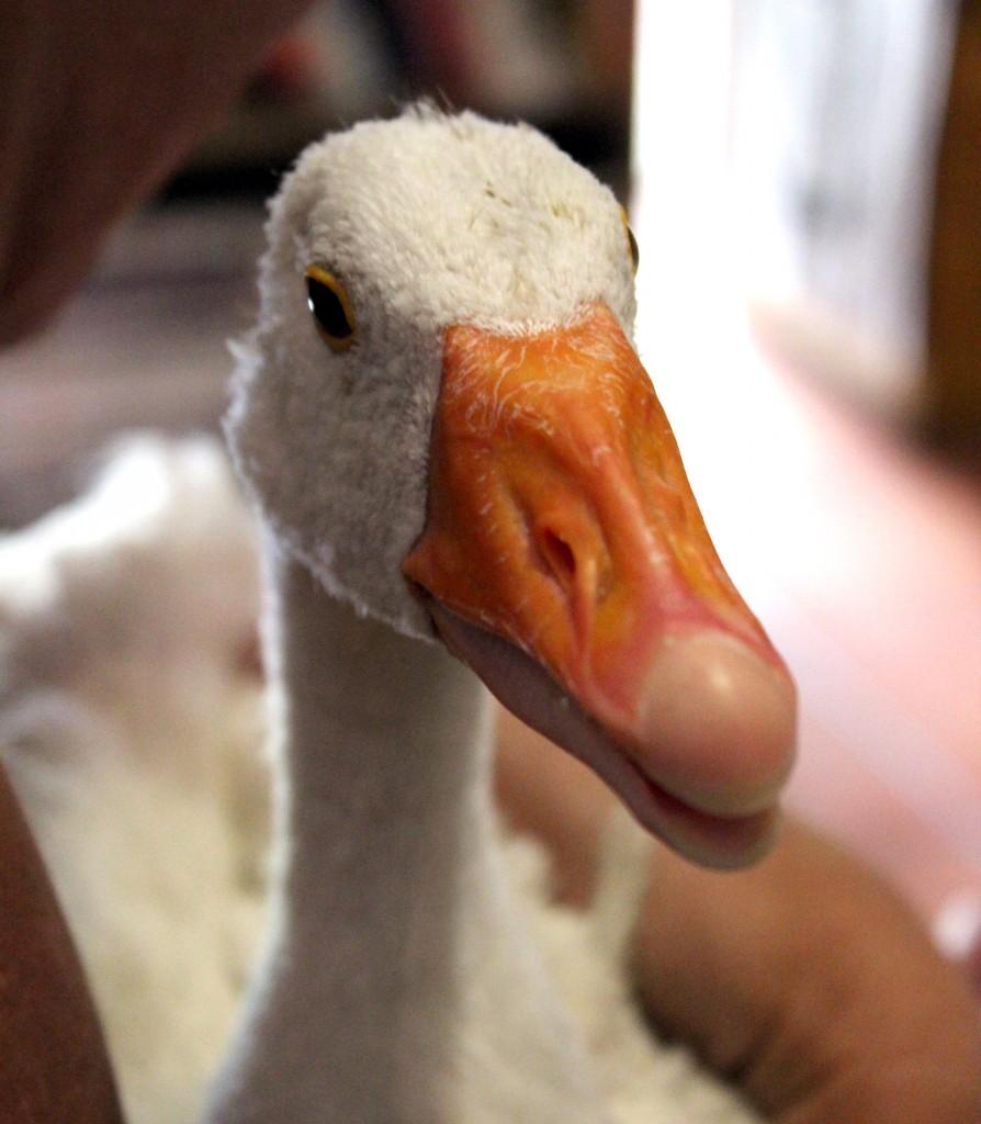 GooseFace